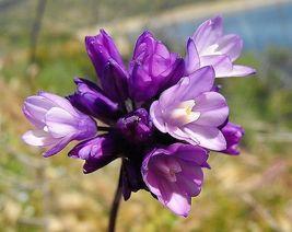 30 seeds - Wild Blue Hyacinth Dichelostemma Blue Dicks Purplehead Brodia... - $17.99