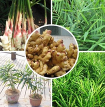 100pcs vegetable seeds zingiber officinale Very Healthty for Body IMA1 - $14.99