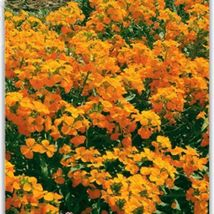 Yellow Siberian Wallflower Flower Seeds 50 seeds easy grow attractive impressive - $13.05