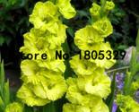 Olus seeds garden seeds potted flowers orchids purple gladioli gladiolus 100 seeds thumb155 crop