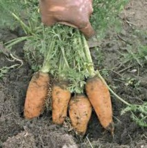 Carrot, Danvers Half Long, Heirloom, Organic 50+ Seeds, Tasty Carrot For Salads - $1.97