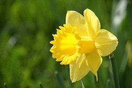 Wild Daffodil 25 bulbs Buttercup,Lent Lily  (NARCISSUS PSEUDONARCISSUS) image 2