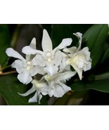 Dendrobium Mini Snowflake Primary Hybrid Orchid Plant Blooming Size - $26.99