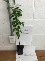 River Birch single stem tree (betulanigra) image 2