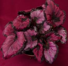 "Begonia Plant Harmony's Rudolph NEW 4"" Pot Rex - €8,37 EUR"