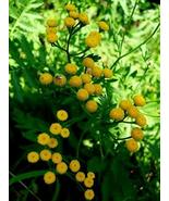 AchmadAnam - 4 Plants - Tansy Perennial Herb - Tanacetum - Natural Mosqu... - $28.00