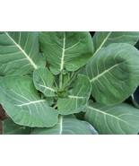 Non GMO Vates Collard Green - 250 Seeds - $7.99