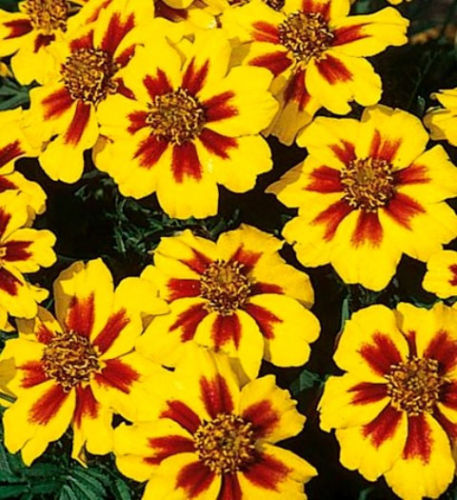 Dainty Marietta, French Marigolds, Heirloom Seeds (75)