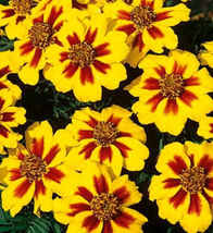 Dainty Marietta, French Marigolds, Heirloom Seeds (75) - $6.30
