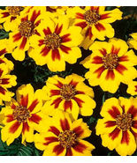 Dainty Marietta, French Marigolds, Heirloom Seeds (75) - $6.30