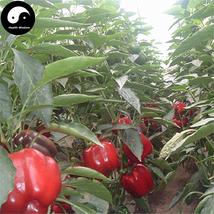 Buy Red Sweet Pepper Seeds 400pcs Plant Bell Pepper Vegetables Capsicum - $15.99