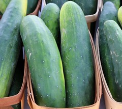 SHIP From US, 1/8 oz 110 Seeds Straight Eight Cucumber, DIY Vegetable Seeds ZJ - $22.77