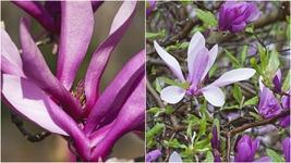 Ann Magnolia Tree (2-3') - Home Garden Outdoor Living - $83.99
