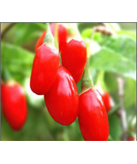 50 Goji Berry (Lycium barbarum) Seeds, Goji Berry / Wolfberry Exotic Hom... - $3.59