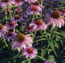 Flower - Echinacea - Purpurea Coneflower - Non-Hybrid - St. Clare Heirlo... - $2.49