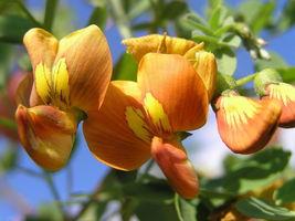 50 Bladder Senna, Colutea arborescens, Shrub Seeds (Fast, Hardy, Showy) - $10.22