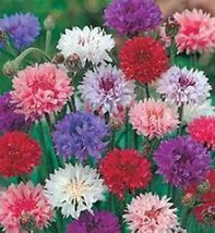 Bachelor Button, Tall  Mix Seeds, Organic, 50 seeds, Beautiful Bright Bl... - $4.99