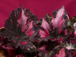 """Begonia Plant Harmony's Curly Red Robin 4"""" Pot Plant Rex - $9.50"""