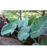 Plant Colocasia Gigantea - 'Thai Giant' - Elephant Ear (It's not seeds) - $25.99