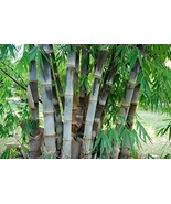 50 Seeds Fresh Giant Bamboo Seeds - Dendrocalamus Asper - ₹348.55 INR