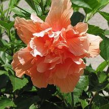 HIBISCUS SYRIACUS double salmon 50 seeds - $20.99