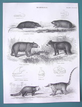 MAMMALS Mole Bears Red Panda Coati - 1840 Fine Quality Antique Print - $13.77
