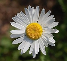 1/4 Pound Seeds of OxEye Daisy - $51.38