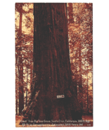 Vintage Postcard Giant Tree Big Tree Grove Santa Cruz California K3 - $9.31