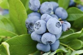 Florida Blueberry (25 seeds)  - Harvest From my garden - USA SELLER - $4.90