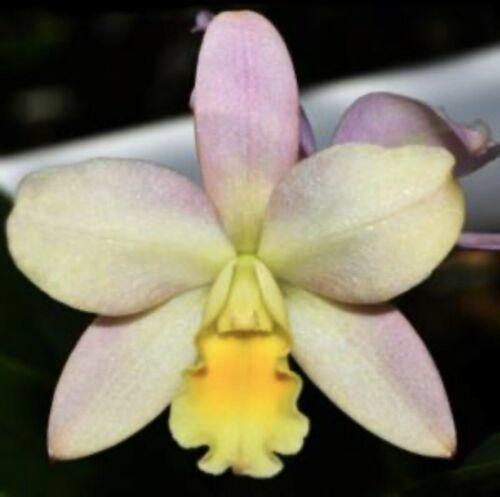 Pot Triple Love CATTLEYA Orchid Plant Pot BLOOMING SIZE 0503 X