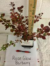 Rose Glow Barberry (Berberis thunbergii 'Rose Glow') shrub qt. pot image 5