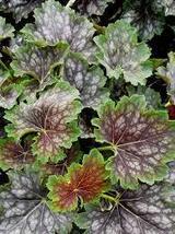 50 Pcs Seeds - Marvelous Marbles Coral Bells - Heuchera - Perennial HH01 - $13.99