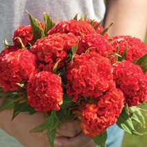 Chief Persimmon Celosia Flower Seed - $8.99