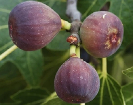 """Live Plant Fruit Tree Hardy Fig """"CHICAGO HARDY"""" Garden & Outdoor Living - $40.00"""