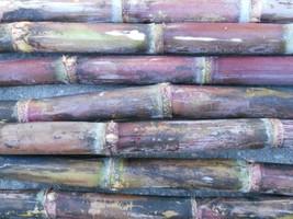 Heirloom Blue Ribbon Purple Sugar Cane Cuttings, Harvested Fresh, Ready ... - £5.79 GBP+
