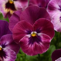 10 Pcs Seeds Cool Wave Series Raspberry Pancy – Parennial HH01 - $15.99