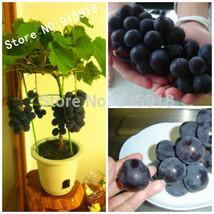 Fruit Bonsai seeds 20pcs Japanese Dwarf Kyoho (Vitis labrusca) Grape SEEDS! - $5.99