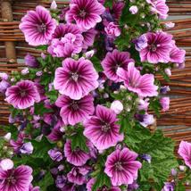 25 Hollyhock Sylvestris Seeds - Malva Zebrina Flower - $8.98