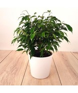Weeping Fig Tree aka Ficus Benjamina Green Foliage Live Plant Fit 1 Gall... - $15.83
