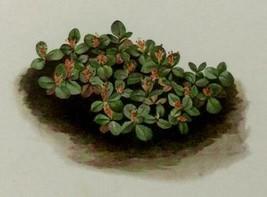 Snow Willow Net-leaved Dwarf (Salix reticulata subsp. nivalis) Vintage P... - $20.52