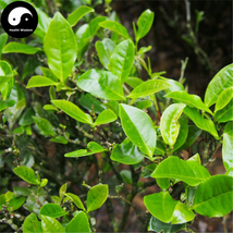Buy Wuyi Oolong Tea Tree Seeds 30pcs Plant Wu Yi Yan Cha For Da Hong Pao - $5.99
