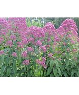 SHIPPED FROM US 400+SWEET JOE PYE WEED Vanilla Scented Native Flower See... - $17.00