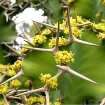 Cow Horn Cactus Seeds (Euphorbia Grandicornis) 20+Seeds - $23.92