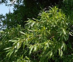 Willow Oak qt pot (quercus phellos) image 5