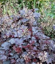 30 Pcs Seeds Purple Coral Bells - Heuchera - Shade Perennial HH01 - $13.99
