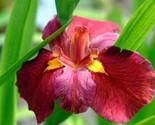"Louisiana Iris - Ann Chowning - Deep Red - 1 Plant - 4.5"" Quart Pot - $47.49"