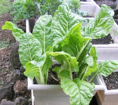"""Japanese Chard Seeds""""Umaina"""" Withstand Hot&Cold Temperatures,Very Slow T... - $13.99"""