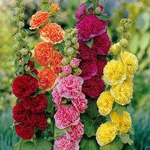 25 Organic Hollyhock, Pink, Red & Yellow Flower Seeds - $4.99