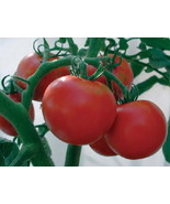 25 rutgers fresh tomato seeds - $7.99