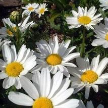 200 Creeping Daisy Flower Seeds - $3.99
